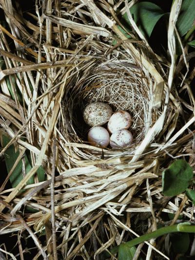 Brown-Headed Cowbird Egg in Nest of Macgillivaray's Warbler-Jeff Foott-Photographic Print