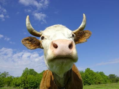 Brown Holstein Cow In The Field Looking At You-Volokhatiuk-Photographic Print