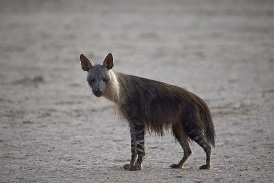 Brown Hyena (Hyaena Brunnea) (Formerly Parahyaena Brunnea)-James Hager-Photographic Print