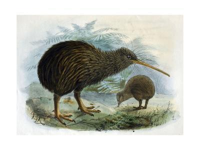 Brown Kiwi--Giclee Print
