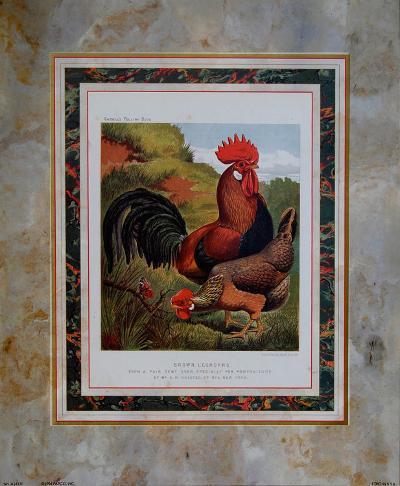 Brown Leg Horn-Cassell's Poultry Book-Art Print