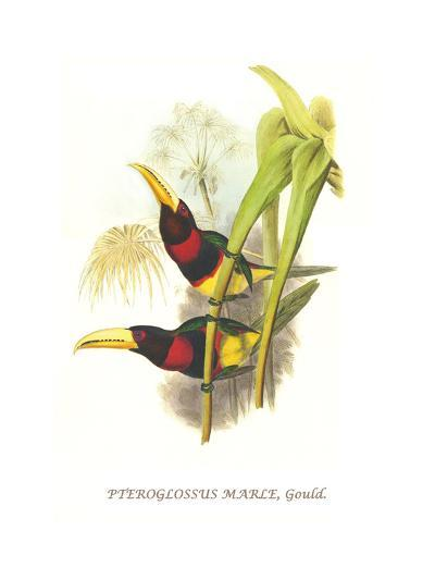 Brown Mandibled Aracari-John Gould-Art Print