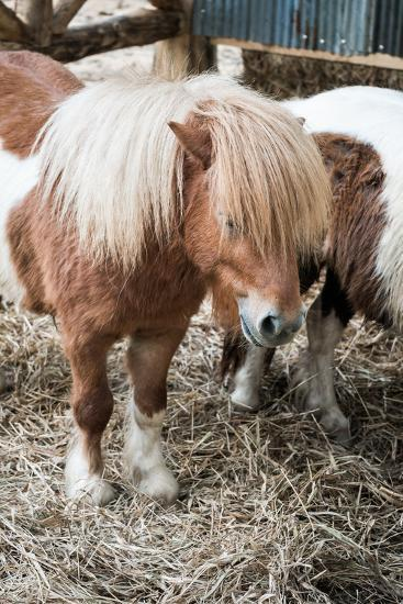 Brown Miniature Horse with Long Hair- crazybboy-Photographic Print