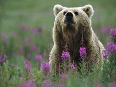Brown or Grizzly Bear (UrsusArctos) and Fireweed (ChamerionAngustifolium), Katmai Nat'lPark, Alaska-Matthias Breiter/Minden Pictures-Photographic Print