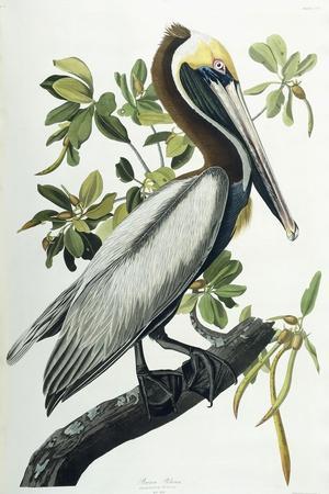 https://imgc.artprintimages.com/img/print/brown-pelican-1835_u-l-ppjhc10.jpg?artPerspective=n
