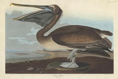 https://imgc.artprintimages.com/img/print/brown-pelican-1838_u-l-q1byg0c0.jpg?p=0