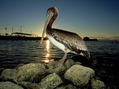 Brown Pelican, Baja California, Mexico-Tobias Bernhard-Photographic Print