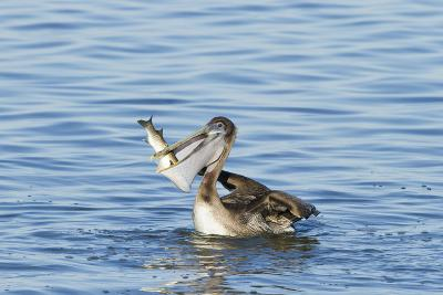 Brown Pelican Bird Eating Mullet in Laguna Madre, Texas, USA-Larry Ditto-Photographic Print