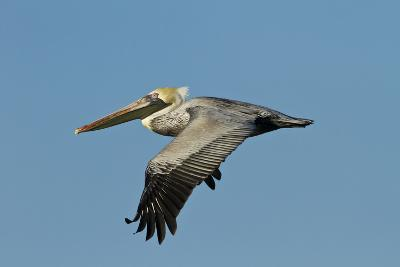 Brown Pelican Bird in Flight, Texas Coast, USA-Larry Ditto-Photographic Print