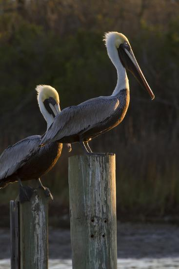 Brown Pelican Bird Sunning on Pilings in Aransas Bay, Texas, USA-Larry Ditto-Photographic Print
