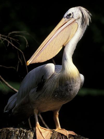 Brown Pelican, Brazil-Gavriel Jecan-Photographic Print