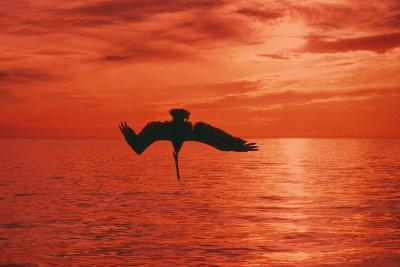 Brown Pelican Diving for Fish, Sunset--Photographic Print