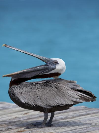 Brown Pelican Dock, Caribbean-Chel Beeson-Photographic Print