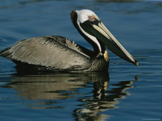 Brown Pelican Floating Calmly on the Water's Surface-Tim Laman-Photographic Print