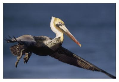 Brown Pelican flying, California-Tim Fitzharris-Art Print