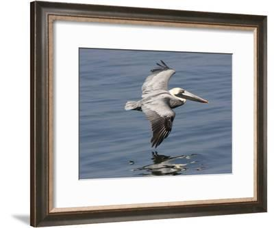 Brown Pelican in Flight, Low over Water-Marc Moritsch-Framed Photographic Print