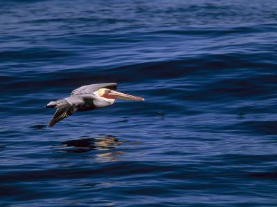 Brown Pelican in Flight over Water-Tim Laman-Photographic Print
