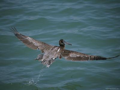 Brown Pelican in Flight-Marc Moritsch-Photographic Print