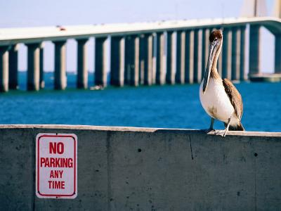 Brown Pelican in Front of Sunshine Skyway Bridge, Tampa Bay, Tampa, Florida-David Tomlinson-Photographic Print