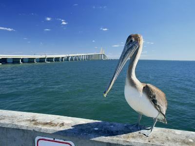 Brown Pelican in Front of the Sunshine Skyway Bridge at Tampa Bay, Florida, USA-Tomlinson Ruth-Photographic Print