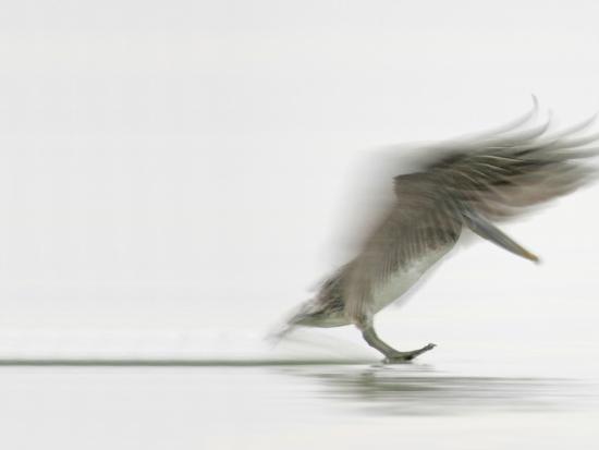 Brown Pelican Landing (Pelecanus Occidentalis), North America-Arthur Morris-Photographic Print