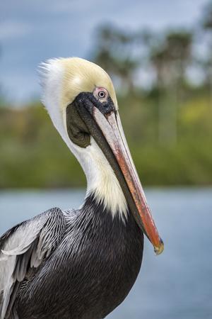 https://imgc.artprintimages.com/img/print/brown-pelican-new-smyrna-beach-florida-usa_u-l-q1gcp900.jpg?p=0