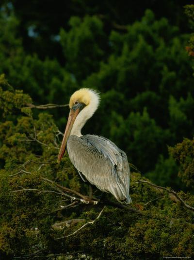 Brown Pelican on Tiger Island in Cumberland Sound-Raymond Gehman-Photographic Print