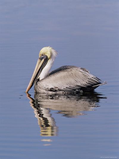 "Brown Pelican (Pelicanus Occidentalis), J. N. ""Ding"" Darling National Wildlife Refuge, Florida-James Hager-Photographic Print"