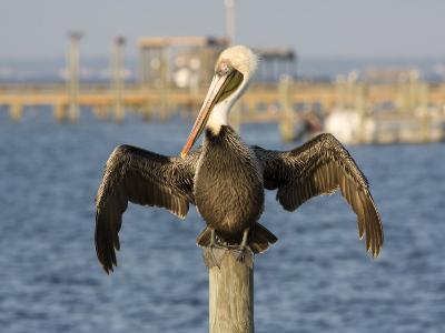 Brown Pelican Perched on a Pier Piling-Marc Moritsch-Photographic Print