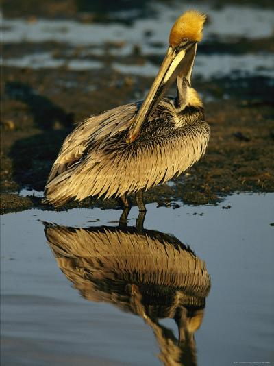 Brown Pelican Preening Its Feathers-Tim Laman-Photographic Print