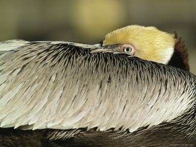 Brown Pelican with Its Head Tucked Behind Its Wing-Klaus Nigge-Photographic Print