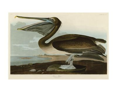 https://imgc.artprintimages.com/img/print/brown-pelican_u-l-f7aafa0.jpg?artPerspective=n