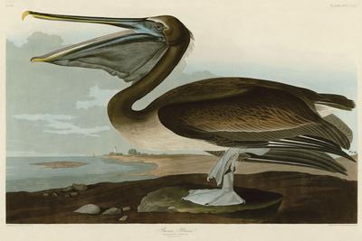 https://imgc.artprintimages.com/img/print/brown-pelican_u-l-f7aafb0.jpg?artPerspective=n