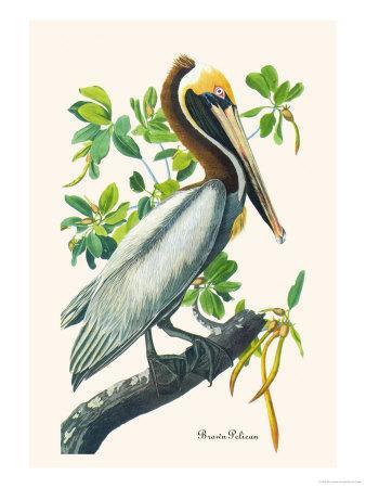 https://imgc.artprintimages.com/img/print/brown-pelican_u-l-p2dr5o0.jpg?p=0