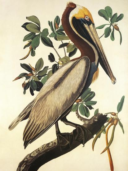 Brown Pelican-John James Audubon-Art Print