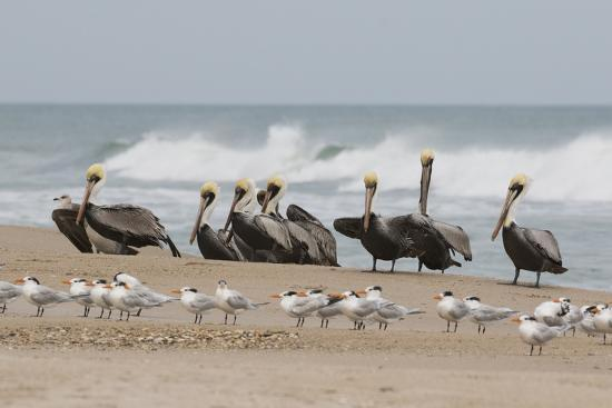 Brown Pelicans and Elegant Terns on the beach-Ken Archer-Photographic Print