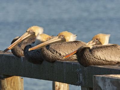 Brown Pelicans Loafing on Railing at Goose Island State Park, Goose Island State Park, Texas, Usa-Larry Ditto-Photographic Print