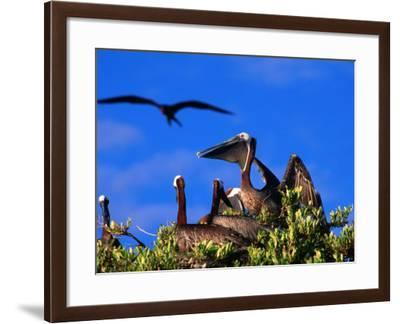 Brown Pelicans Nesting Amongst Red Mangrove, Cayos Cochinos, Islas De La Bahia, Honduras-Ralph Lee Hopkins-Framed Photographic Print