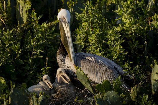 Brown Pelicans, Pelecanus occidentalis, nesting-Larry Ditto-Premium Photographic Print