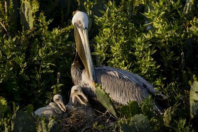 https://imgc.artprintimages.com/img/print/brown-pelicans-pelecanus-occidentalis-nesting_u-l-q1d2jg50.jpg?p=0