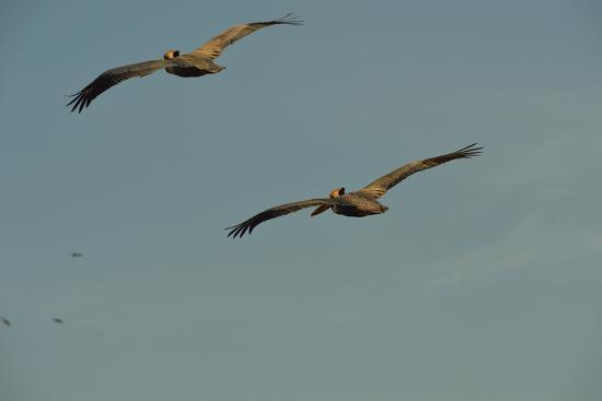 Brown Pelicans, Pelecanus Occidentalis, Soar Against a Blue Sky in Panama-Jonathan Kingston-Photographic Print