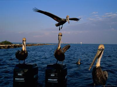Brown Pelicans Perched on Outboard Motors--Photographic Print