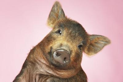 Brown Pig Against Pink Background with Head Cocked, Close-Up