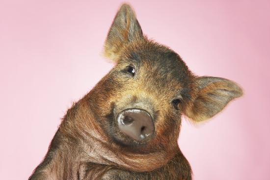 Brown Pig Against Pink Background with Head Cocked, Close-Up--Photo