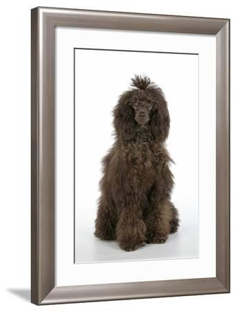 Brown Poodle Sitting Down--Framed Photographic Print
