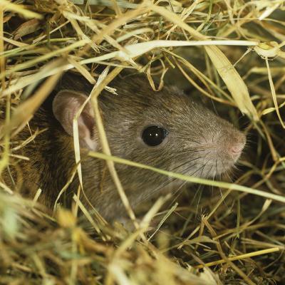 Brown Rat (Rattus Norvegicus) Head Poking Out from Hay-Nigel Cattlin-Photographic Print