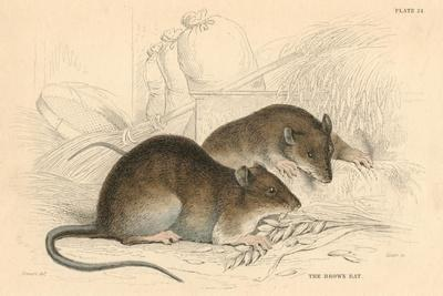 https://imgc.artprintimages.com/img/print/brown-rat-rattus-rattu-1828_u-l-ptkxlg0.jpg?p=0