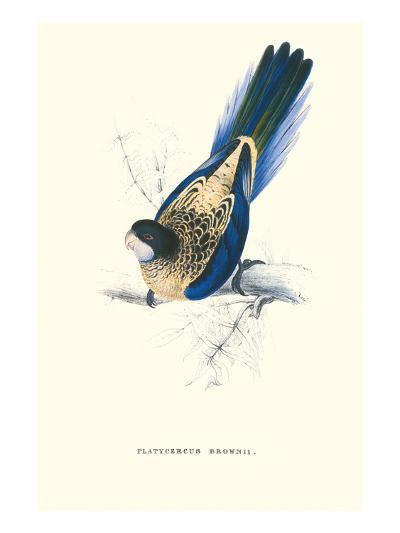 Brown's Parakeet - Platycercus Venustus-Edward Lear-Art Print