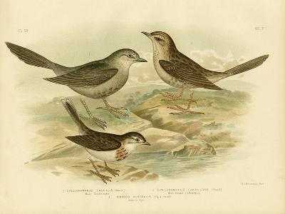 Brown Songlark, 1891-Gracius Broinowski-Giclee Print