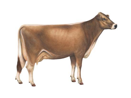Brown Swiss Cow, Dairy Cattle, Mammals-Encyclopaedia Britannica-Art Print